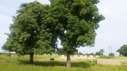 shea nut tree.jpg